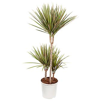 Indoor tree from Botanicly – Dragon tree – Height: 105 cm, 3 stems – Dracaena 'Bicolour'