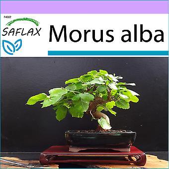 סאקפלקס-200 זרעים-בונסאי-תות לבן-מורייר בלאן-מורו ביאנקו-Morera בלאנקה-B-וויילר מולביבאום
