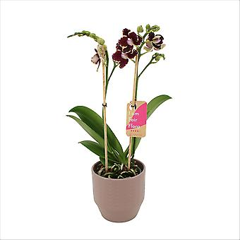BOTANICLY Phalaenopsis Multiflora Bellinzona - Schmetterlingsorchidee