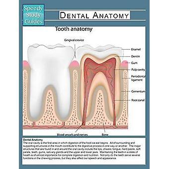 Dental Anatomy Speedy Study Guide von Publishing LLC & Speedy