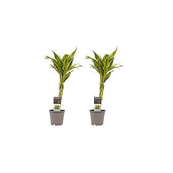 Kamerplanten van Botanicly – 2 × Drakenboom – Hoogte: 45 cm – Dracaena Sandriana