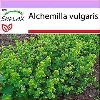 Saflax - 100 semi - della signora mantello - Alchémille comune - Erba stella - Pie de león - Frauenmantel