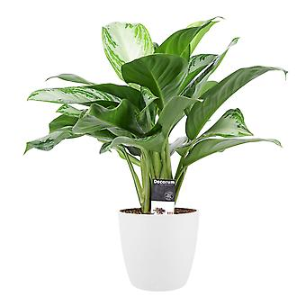 Indoor Plant – Chinese evergreens in white plant pot as a set – Height: 50 cm