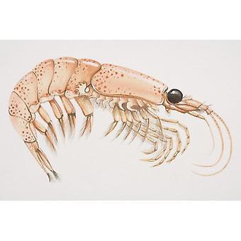 Krill (malacostracans), zijaanzicht. Grote ingelijste foto. Krill (malacostracans), zijaanzicht.