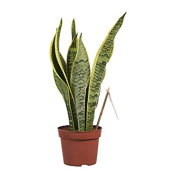 Kamerplant van Botanicly – Vrouwentongen – Hoogte: 40 cm – Sansevieria trif. Laurentii