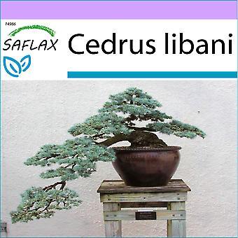 ספלקס-20 זרעים-בונסאי-לבנון ארז-בלידרה דו ליבאן-Cedro ליבאנו-בליבנו, ליבנו זנדר