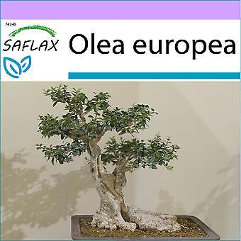 ספלקס-20 זרעים-בונסאי-זית משותף-אוליבייה-אוליבו-אוליבו-באום-אולבאום