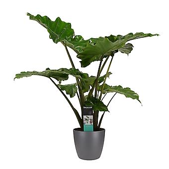 Plante d'intérieur – Alocasia en pot de fleur anthracite comme un ensemble – Hauteur: 90 cm