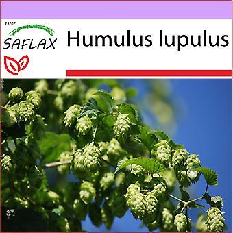 Saflax - 50 Samen - Common Hop - Houblon - Luppolo - Lúpulo - Echter Hopfen