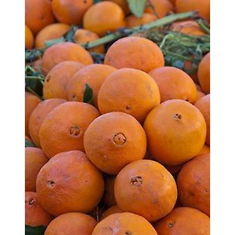 Appelsiinit myytävänä Fes markkinoiden Marokko Juliste Tulosta William Sutton