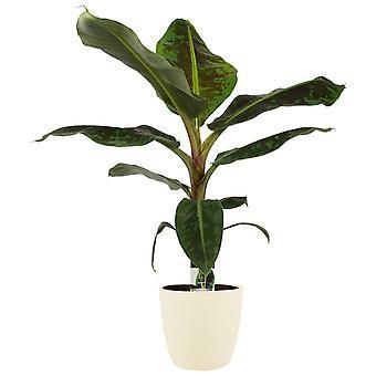 Pianta d'appartamento da Botanicly – Musa in vaso crema come set – Altezza: 70 cm