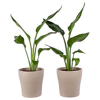 Piante da interno – 2 × Estrelitzia in vaso marrone come set – Altezza: 35 cm