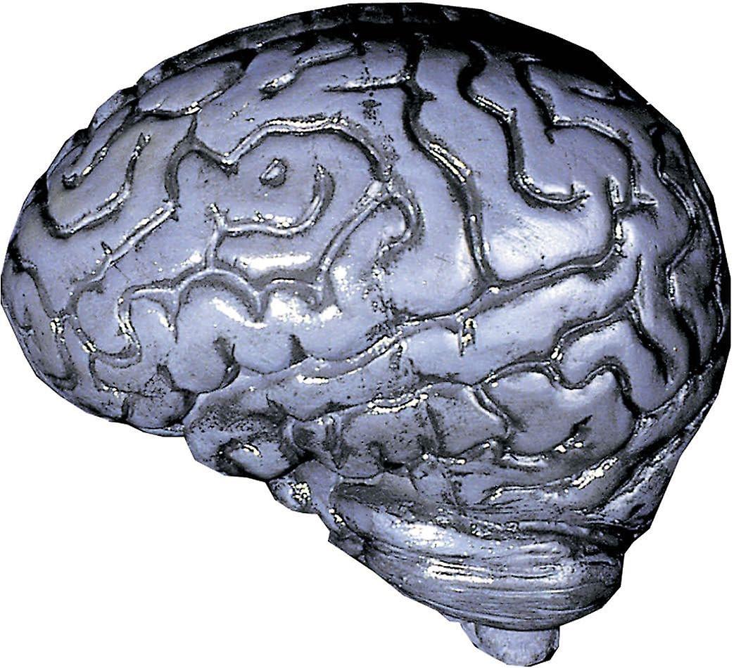 Harmaa ihmisen aivot