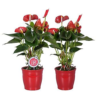 MoreLIPS - 2 Flamingoplants red - in red ceramic pot Roma - height 35-45 cm - pot size: 12 cm - Anthurium andreanum - Your Green Present