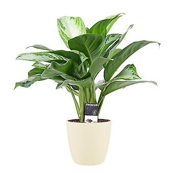 Plantas Interiores – Evergreens chineses em pote de plantas creme como um conjunto – Altura: 50 cm