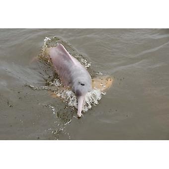 ブラジル アマゾナス州リオ Tapajos 淡水ピンク アマゾン イルカによってシンディ ・ ミラー ・ ホプキンス ポスター印刷