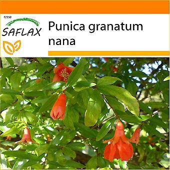 Saflax - tuin in de zak - 50 zaden - dwerg granaatappel - Grenadier nain - Melograno nano - Granado enano - Zwerg - Granatapfel