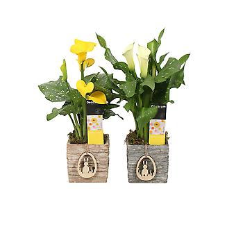 Flowers – 2 × Calla in multicolored pot as a set – Height: 50 cm, yellow flowers