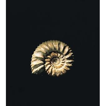Shell auf schwarzem Hintergrund Poster Print von Panorama-Aufnahmen (32 x 36)