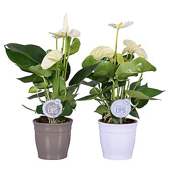 MoreLIPS - 2 Flamingoplants white - in grey and white ceramic pot Roma - height 35-45 cm - pot size: 12 cm - Anthurium andreanum - Your green present