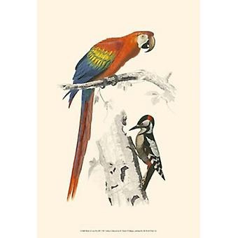 Birds of Costa Rica III Poster Print by C Dorbigney (13 x 19)