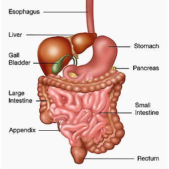 Печать плаката иллюстрации пищеварительной системы человека, Гвен ShockeyScience источник