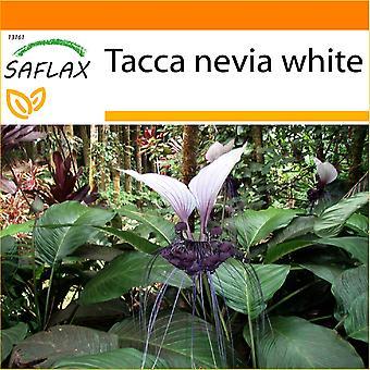 Saflax - trädgården i den väska - 10 frön-Giant Bat blomma vit - Géant népalais - Fleur chauve souris - Fiore pipistrello gigante - Planta murciélago - Nepalesische Riesen - Fledermausblume