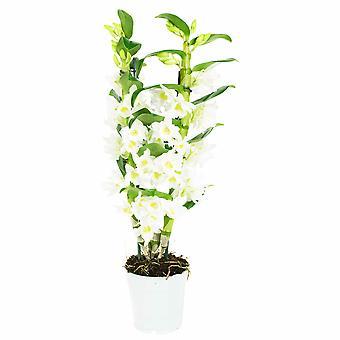 Dendrobium Nobile Apollon - Hoogte 60 cm - Diameter pot 12 cm