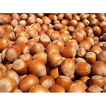 Organic Filberts Shelled Natural -( 11lb )