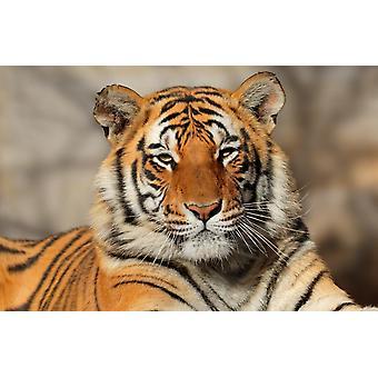 Muurschildering portret van een Bengaalse tijger