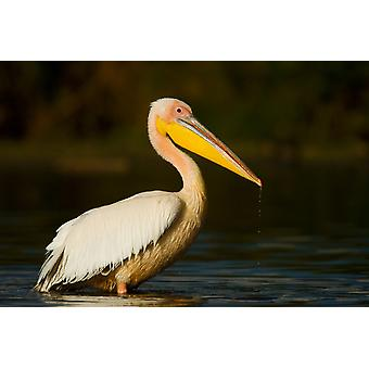 Side profile of a Great White Pelican standing in water Lake Naivasha Kenya Poster Print