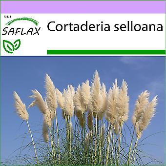 Saflax - 200 nasion - amerykański trawy pampasów - Herbe de la pampa - Erba delle Pampas - Hierba de las Pampas - Amerikanisches Pampasgras