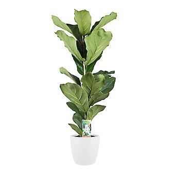 Zimmerpflanze von Botanicly – Geigenfeige in weißem Übertopf als Set – Höhe: 75 cm – Ficus Lyrata
