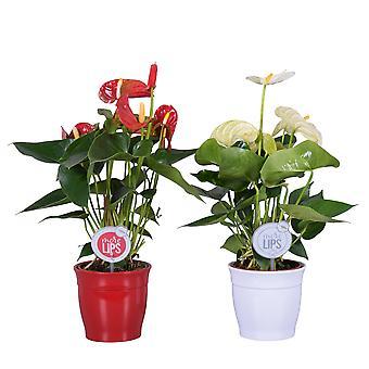 MoreLIPS® - 2 Flamingoplanten rood en wit - luchtzuiverende kamerplanten Anthurium andreanum