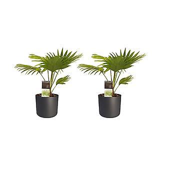 Kamerplanten – 2 × Waaierpalm incl. sierpot antraciet cilindrisch als set – Hoogte: 45 cm