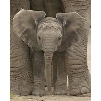 Isot korvat Baby Elephant juliste Juliste Tulosta