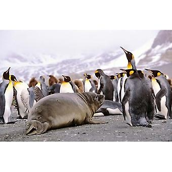 Southern Elephant Seal weaned pup in colony of King Penguins Poster Print by Martin Zwick