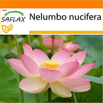 Saflax - hage i posen - 8 frø - hellige indiske Lotus - Lotus sacré - Fior di loto asiatico - Lloto sagrado - Indische Lotusblume