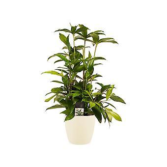 Planta de interior – Árbol dragón en maceta crema como un conjunto – Altura: 60 cm