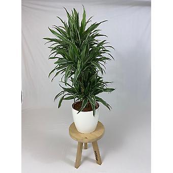 Planta Interior – Árvore dragão em vaso de planta branca como um conjunto – Altura: 120 cm