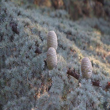 Cedrus atlantica (Atlas Cedar) - Plant