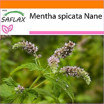 Saflax - Tuin in de Zak - 500 zaden - Mexicaanse nana munt - Menthe mexicaine nana - Menta spicata Nana - Menta de nana mejicana - Mexikanische Nana Minze