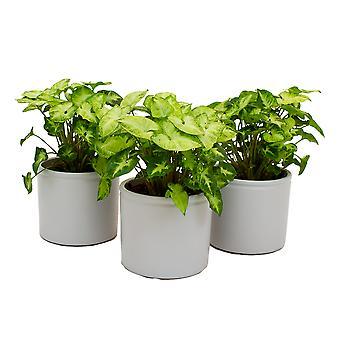 Zimmerpflanzen – 3 × Purpurtute in weißem Keramik Übertopf als Set – Höhe: 25 cm