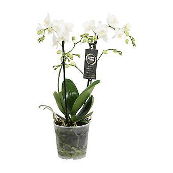 Val av grön-Phalaenopsis Amore Mio Extension-Butterfly Orchid