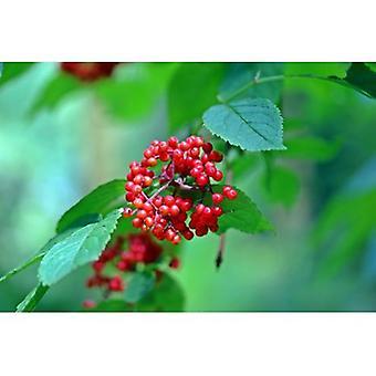 Sambucus racemosa (Red Elderberry) - Plant