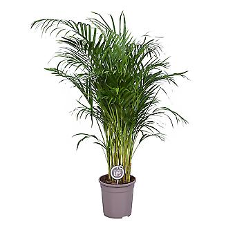 MoreLIPS® - Kultainen palmu - taupe-viljelijöiden potissa - korkeus 115-125 cm - potin halkaisija: 24 cm - Dypsis lutescens