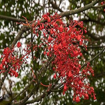 Brachychiton acerifolius (Illawarra flame tree) - Plant