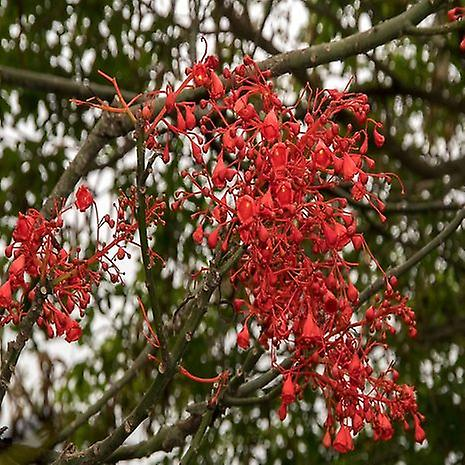 Brachychiton acerifolius (Illawarra vlam boom)-plant