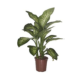 Indoor Plant from Botanicly – Dieffenbachia Seguine Tropic Snow – Height: 90 cm