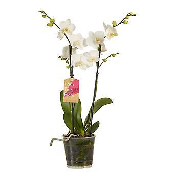 Orkidé – Fjäril orkidé vit – Höjd: 50 cm, 2 stjälkar, vita blommor